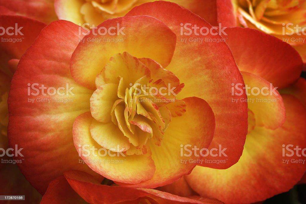 Beauty of Begonia foto