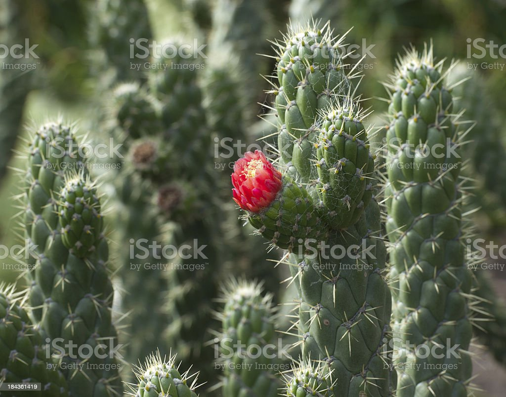 Beauty of Nature - Blooming Cactus (XXXL) royalty-free stock photo