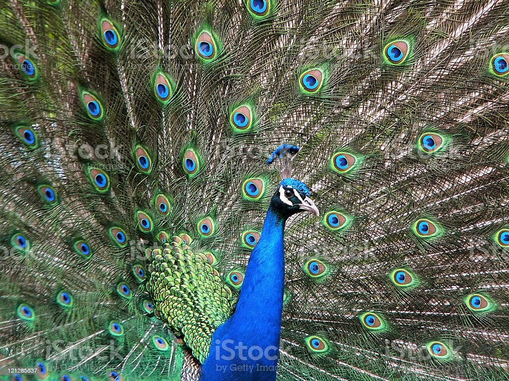Beauty of nature - Peacock royalty-free stock photo