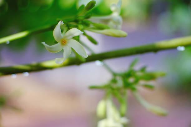 Beleza das flores de mamão - foto de acervo