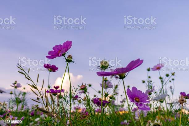 Photo of beauty pansy flower in the farm