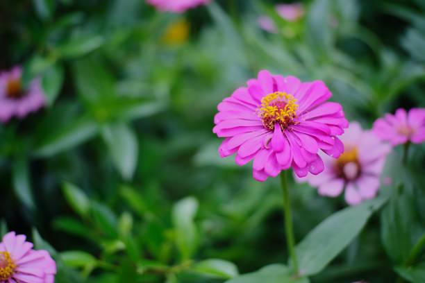 Flor rosa de beleza - foto de acervo