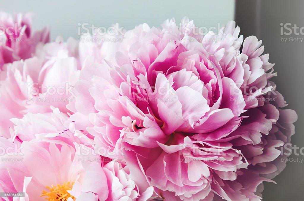 Beauty pink peonies peony roses flower macro. Pastel floral wallpaper stock photo