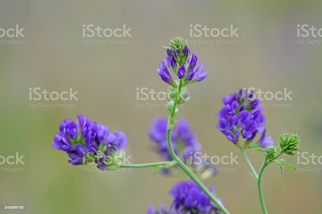 Beauty Purple alfalfa flowers stock photo