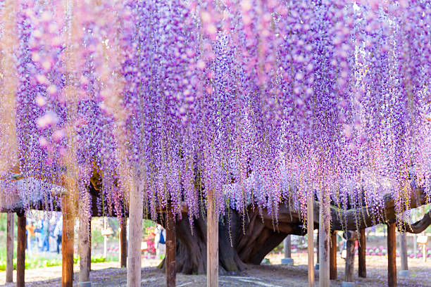 beauty rooted in the large wisteria trellis - blauregen stock-fotos und bilder