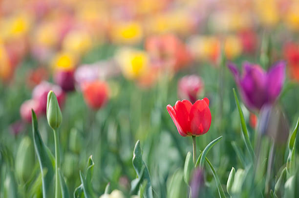 schöne tulpen - patrick hutter stock-fotos und bilder