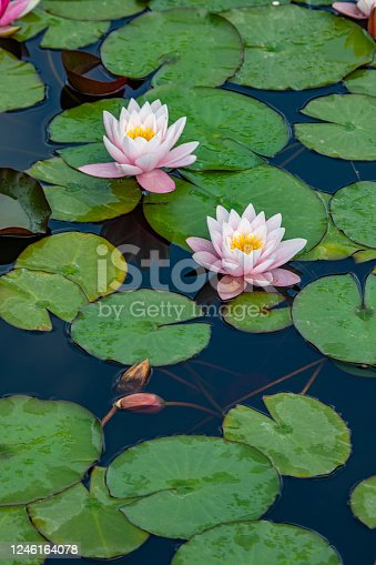 beauty water lily