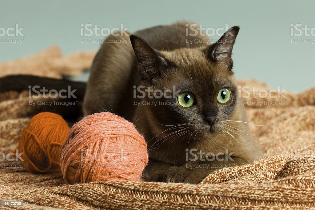 Beautyburm kitten with woolen clew royalty-free stock photo