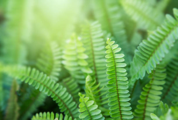 Beautyful ferns leaves green foliage natural floral fern background in sunlight. Beautyful ferns leaves green foliage natural floral fern background in sunlight. Bright green fern leaves as background. Selective focus fern stock pictures, royalty-free photos & images