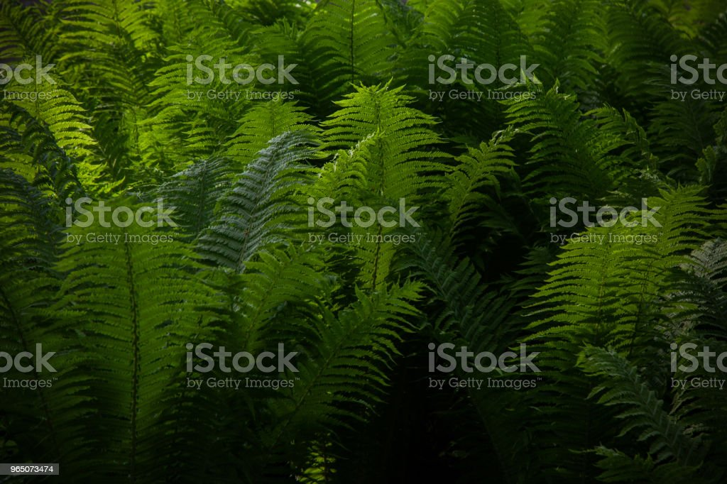 Beautyful ferns leaves green foliage natural floral fern background. Midsummer Day. royalty-free stock photo