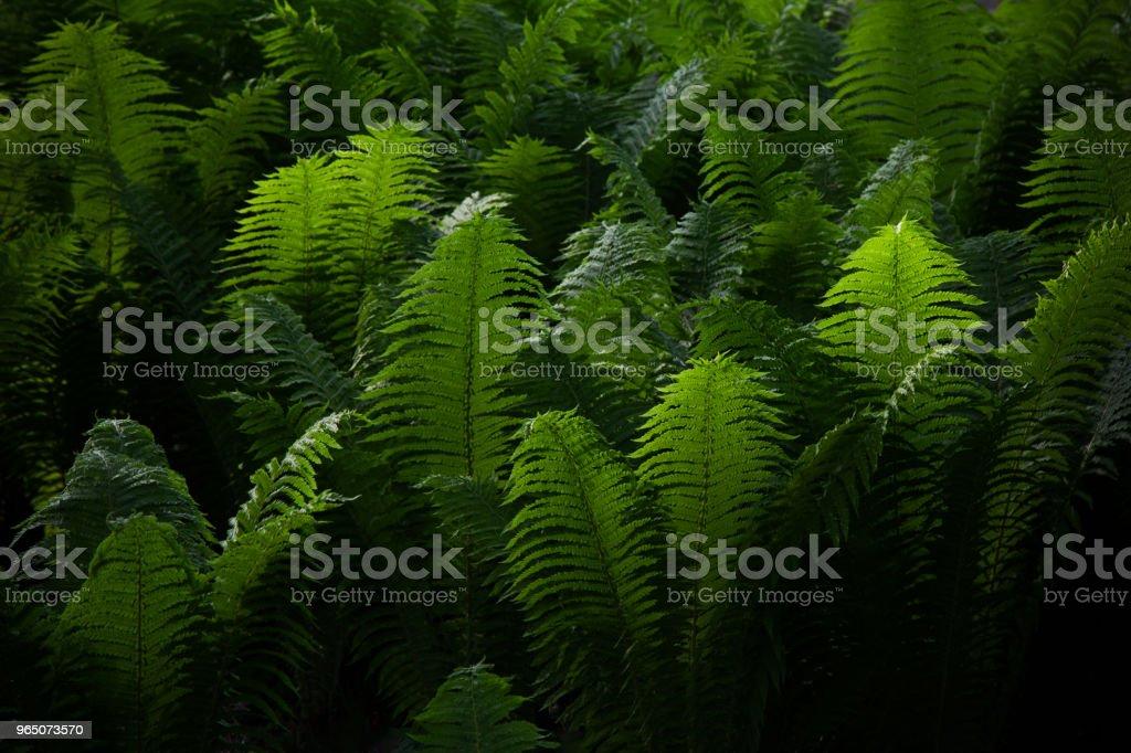 Beautyful ferns leaves green foliage natural floral fern background. Midsummer Day. zbiór zdjęć royalty-free