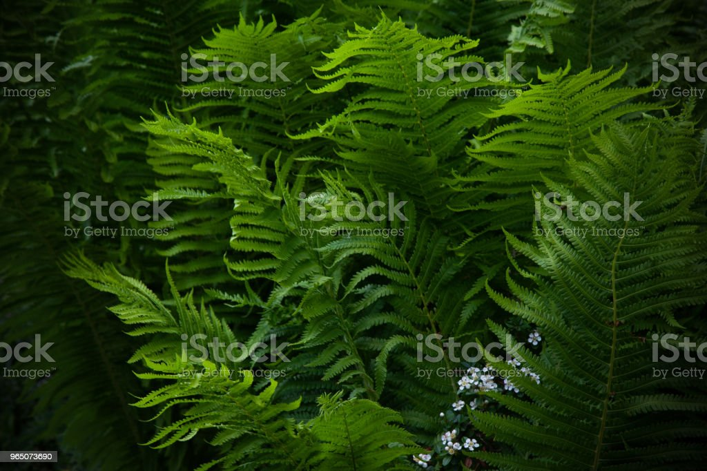 Beautyful ferns leaves green foliage natural floral fern background. Midsummer Day. zbiór zdjęć royalty-free