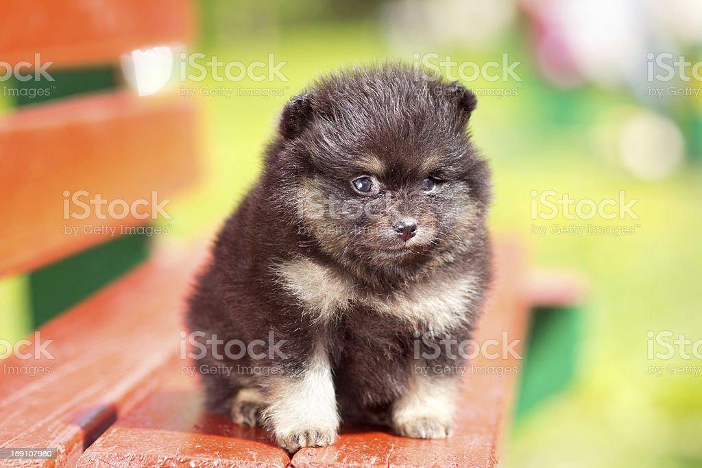 Beautyful fluffy Pomeranian puppy royalty-free stock photo