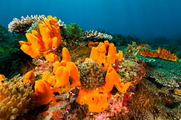 Beautyful Seascape, Orange Sponges and Bubble Tip Anemones, Pantar Strait, Indonesia These sponges are NOT photoshopped, that's the real color! The whole area is full of Bubble Tip Anemones Entacmaea quadricolor. A lot of Acropora sp. hard corals. Some Tropical Striped Triplefin Helcogramma striatum (4 cm = 1.6 inches) are there. A dive in Indonesia without them is quite rare! Many Stinging Hydrozoan Aglaophenia cupressina, they are useful to indicate good buoyancy to divers, as bad one is painful! South West side of Pura Island, Pantar Strait, Alor, Indonesia, 8°19'8