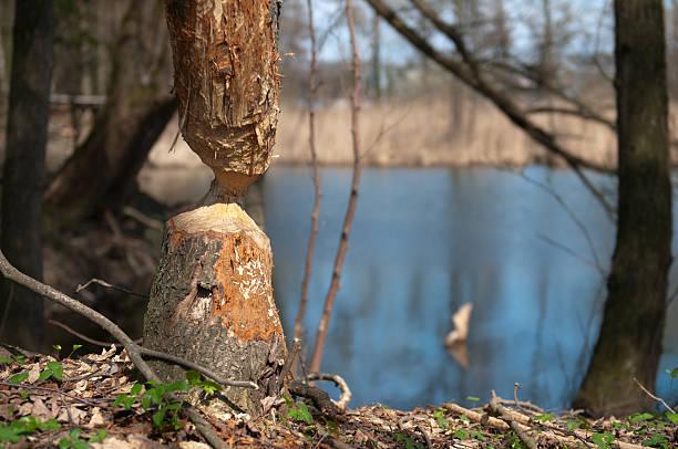 beaver am arbeit - patrick hutter stock-fotos und bilder