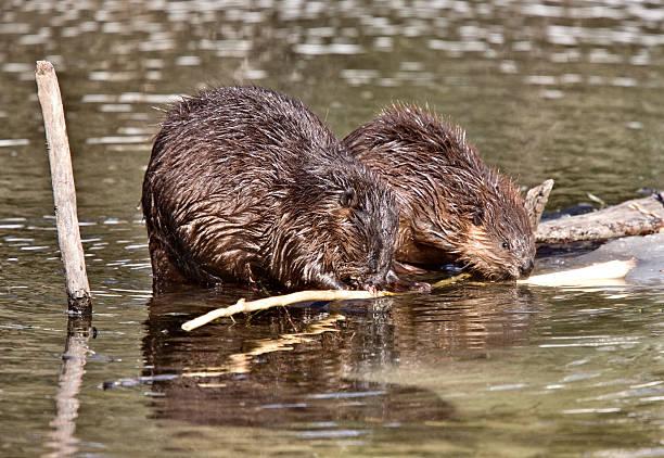 Beaver at Work stock photo