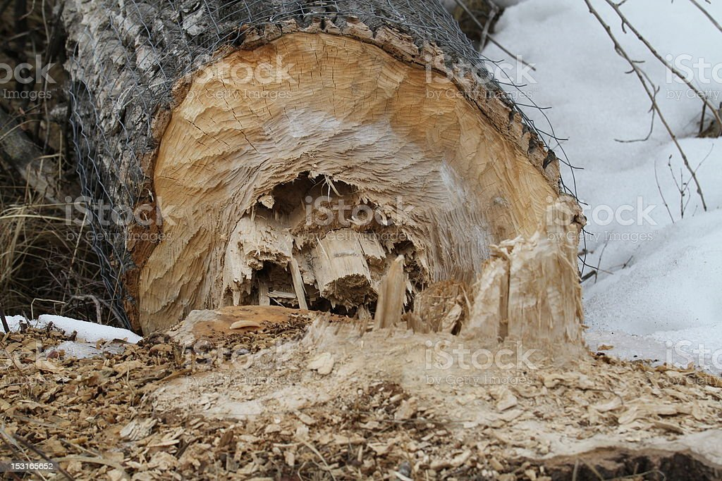 Beaver Bites royalty-free stock photo