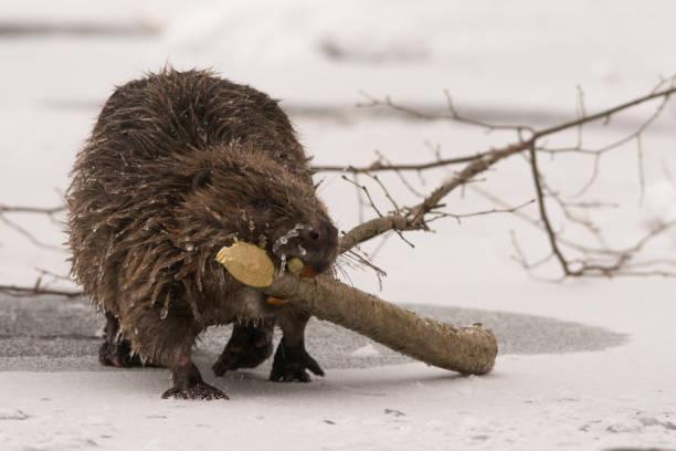 Beaver / Castor fiber stock photo