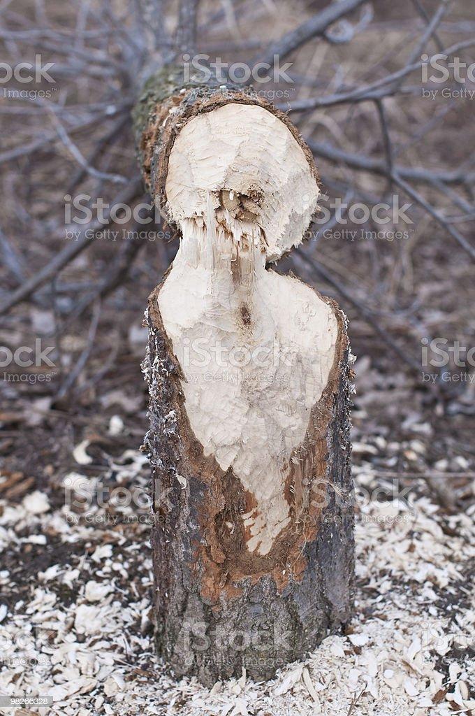 Beaver Chewed Tree royalty-free stock photo
