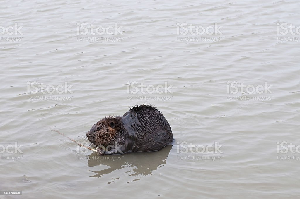 Beaver Chewing a Stick royalty-free stock photo