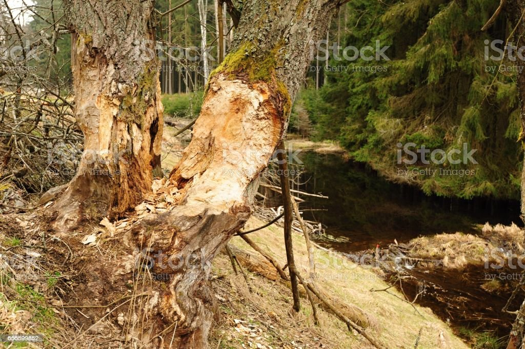 Beaver dam and old trees stock photo