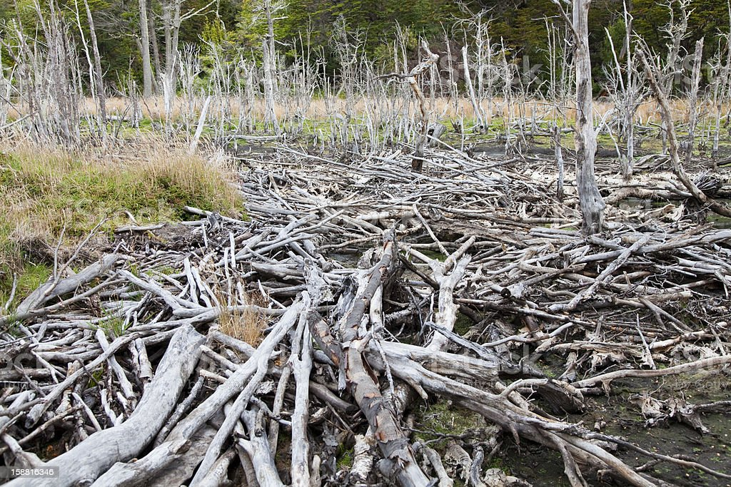 Beaver dam at tierra del fuego national park royalty-free stock photo