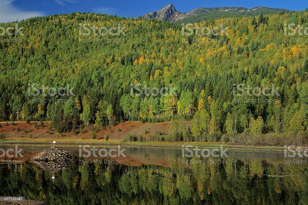 Beaver dam in Washington state royalty-free stock photo