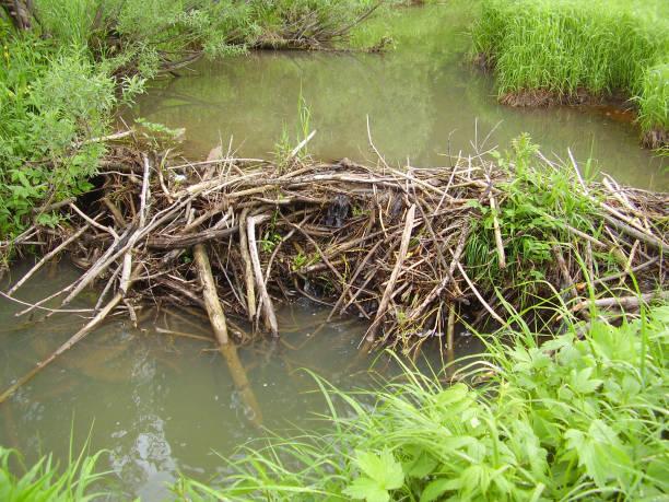 Barrage de castor sur une belle journée d'été. Milieu de l'été, vert vif de la végétation côtière - Photo