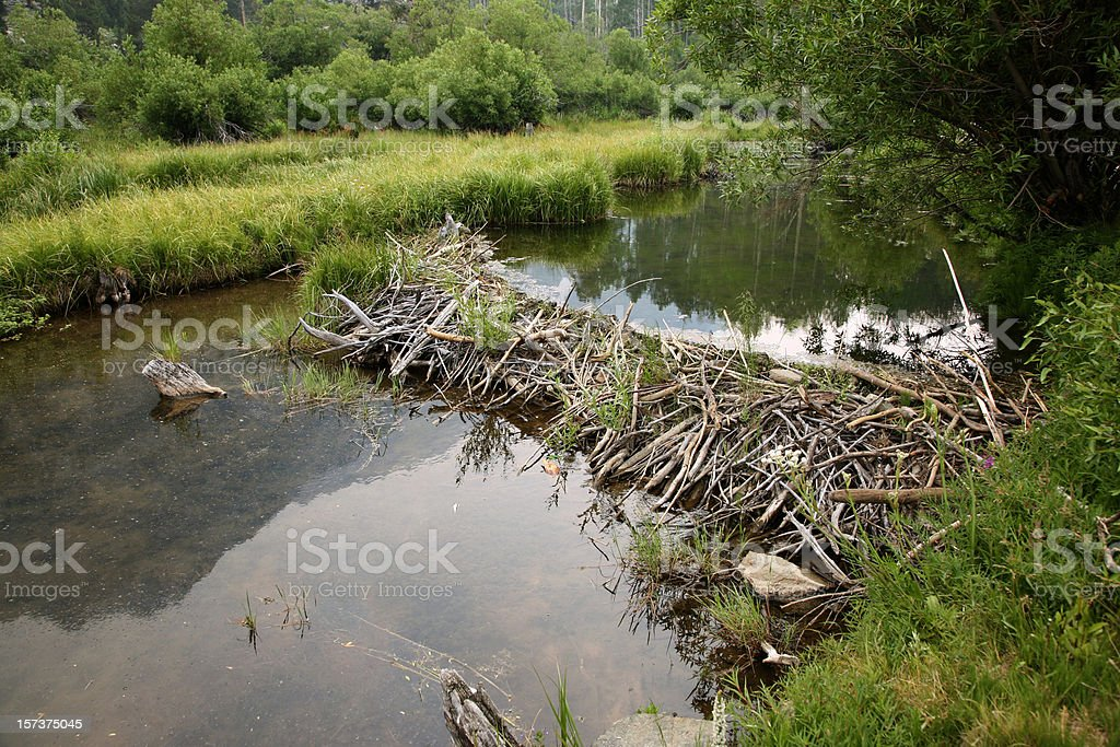 Beaver dam on River surrounded by grass fields stock photo