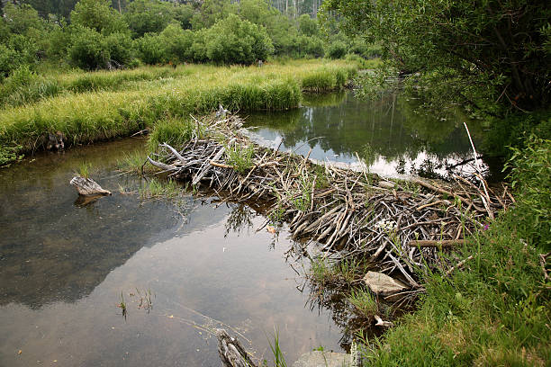 Beaver dam on River surrounded by grass fields