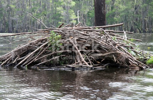 a beaver dam in among the cypress trees Caddo Lake in TexasPlease see my similar photos: