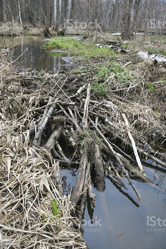 Beaver dam with still water pond royalty-free stock photo