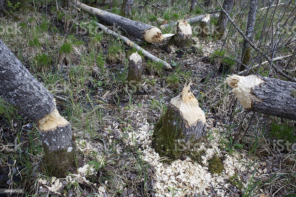 Beaver damage in forest stock photo