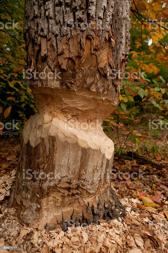 Beaver damage royalty-free stock photo