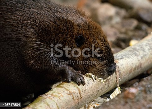 Beaver eating away a tree - close up