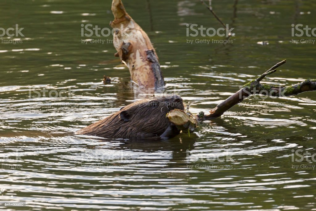 A beaver eats leaves and twigs stock photo
