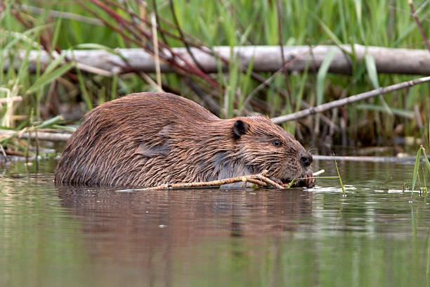 Beaver eats feuilles sur Bear Creek, dans le Colorado - Photo