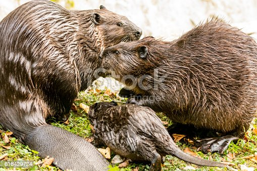 Beaver family on the lake shore. Extremely rare scene - beavers with the cub came to the shore in search of young shoots during the day. Beavers are very cautious animals and cubs coming ashore only at night, while they spend the day in burrows or in the water.