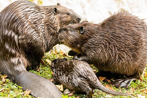 Beaver family on lake shore - Photo