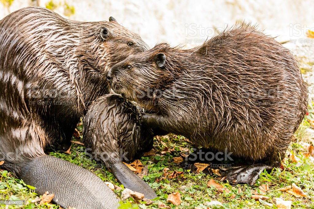 Beaver family on lake shore stock photo