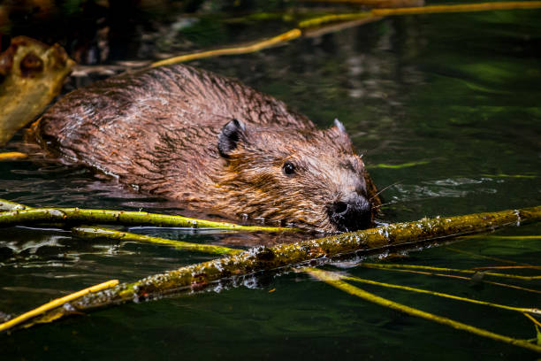 Beaver gathering winter stock of wood stock photo