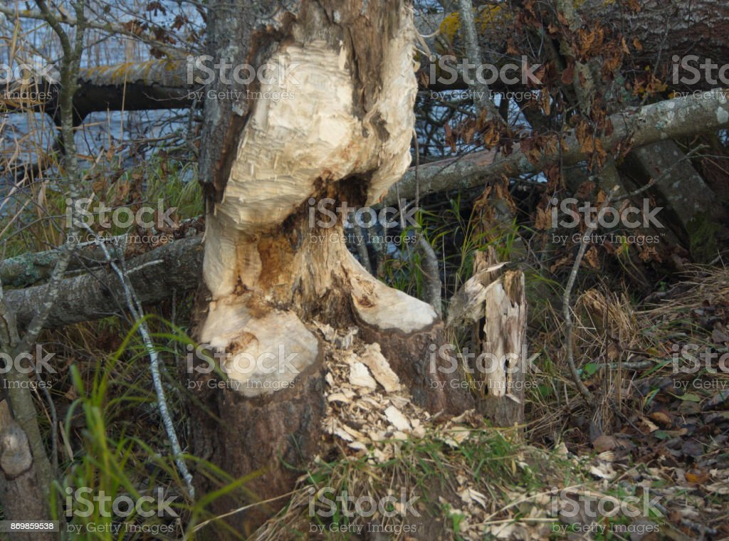 Beaver gnaw stock photo