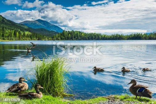 Summer landscape of Beaver Greek in Yukon, Canada close of Alaska border. Wild ducks on foreground.