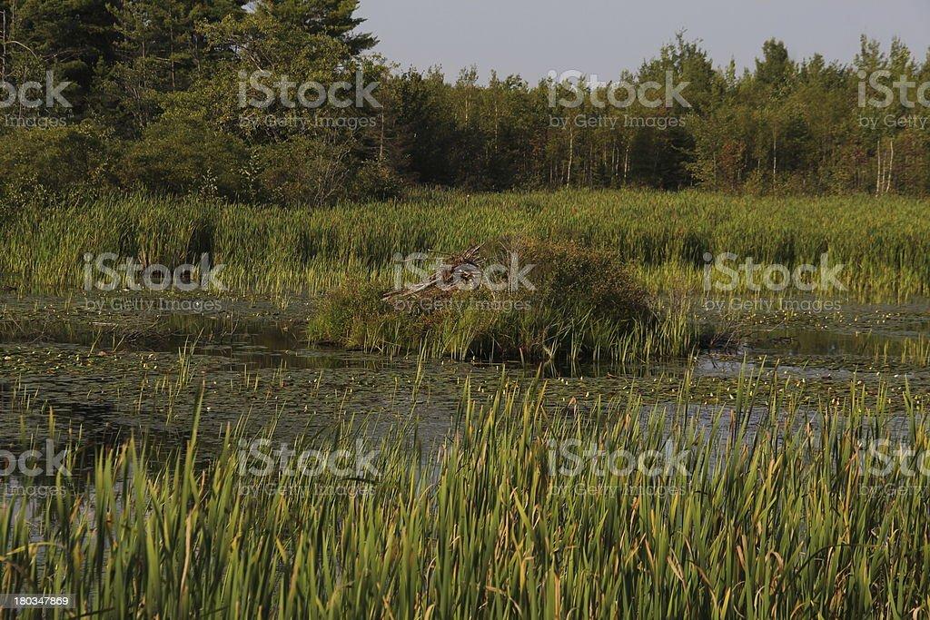 Beaver Habitat royalty-free stock photo