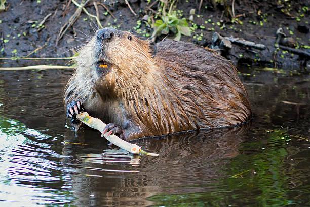Beaver de Tetons - Photo