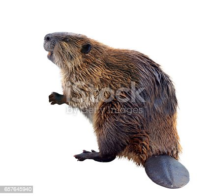 A North American Beaver standing on his hind legs showing his tail. He looks like he is smiling.