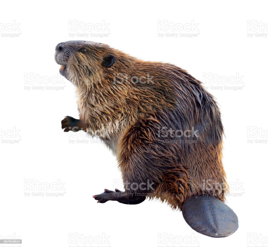 A Beaver Isolated on a White Background stock photo