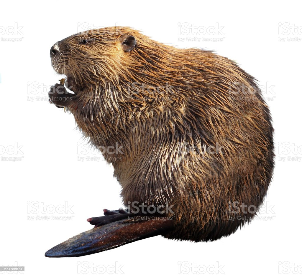 Beaver Isolated on a White Background stock photo