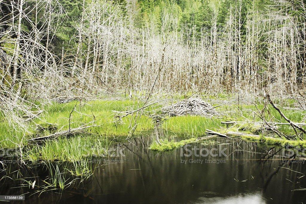 Beaver Lodge Dam Forest Pond royalty-free stock photo