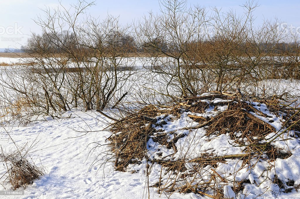 Beaver lodge on Havel River (Germany) with poplar tee royalty-free stock photo